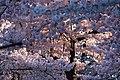 Cherry blossoms 0017 - Washington DC - 2014-04-10 (13773243974).jpg