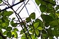 Chestnut-sided warbler (34098333911).jpg