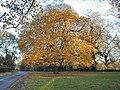 Chestnut Tree at West Leake - geograph.org.uk - 9655.jpg