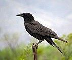 Chihuahuan Raven (18563183721).jpg