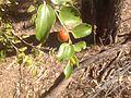 Chinee Apple (Zizyphus mauritiana) fruit and leaves.jpg