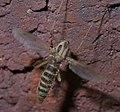Chironomus P1300852a.jpg
