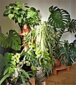 Chlorophytum -.jpg