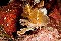 Christmas tree worm, table coral city, wakatobi, 2018 (31942458128).jpg