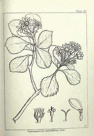 Chrysanthemoides monilifera - Image: Chrysanthemoides monilifera 00