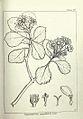 Chrysanthemoides monilifera00.jpg
