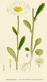 Chrysanthemumleucanthemum.jpg