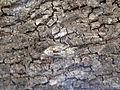 Cicadidae cicala su leccio.jpg
