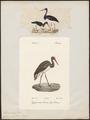 Ciconia nigra - 1700-1880 - Print - Iconographia Zoologica - Special Collections University of Amsterdam - UBA01 IZ17600037.tif