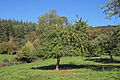 Cider apple harvest in Herefordshire - geograph.org.uk - 267018.jpg