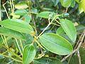 Cinnamomum zeylanicum (2284445265).jpg