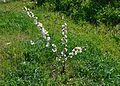 Cirerer xicotet amb flor, la Vall de Gallinera.JPG
