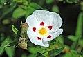 Cistus x obtusifolius (snow fire rock rose) 1 (49098085941).jpg