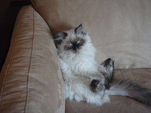 Himalayan cat - A Himalayan lounging.