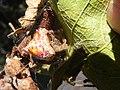 Cladomelea debeeri Bolas spider on egg packets.jpg