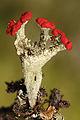 Cladonia coccifera (7332302704).jpg