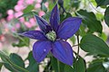 Clematis 'H. F. Young' IMG 0194.jpg