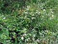Clematis virginiana SCA-03934.jpg