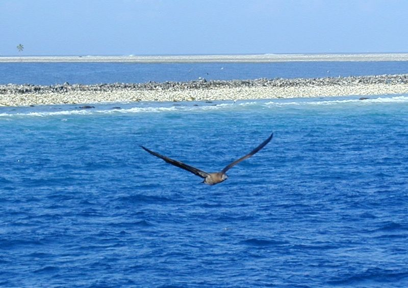 File:Clipperton Booby.jpg