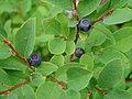 Close-up of berries. (5220237fc4134d22928d4777c86b4b8f).JPG