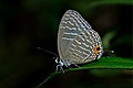 Close wing position of Jamides alecto Felder, 1860 – Metallic Cerulean WLB DSC 4341.jpg