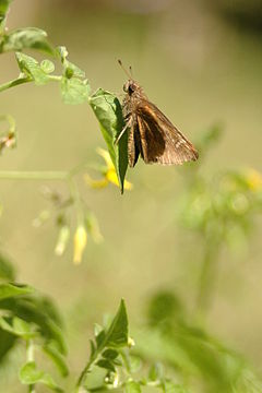 Clouded skipper georgia.jpg