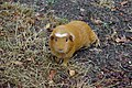 Cochon d'Inde (Cavia porcellus) (1).jpg