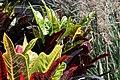 Codiaeum variegatum 37zz.jpg