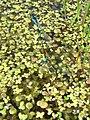 Coenagrion pulchellum fm2.jpg