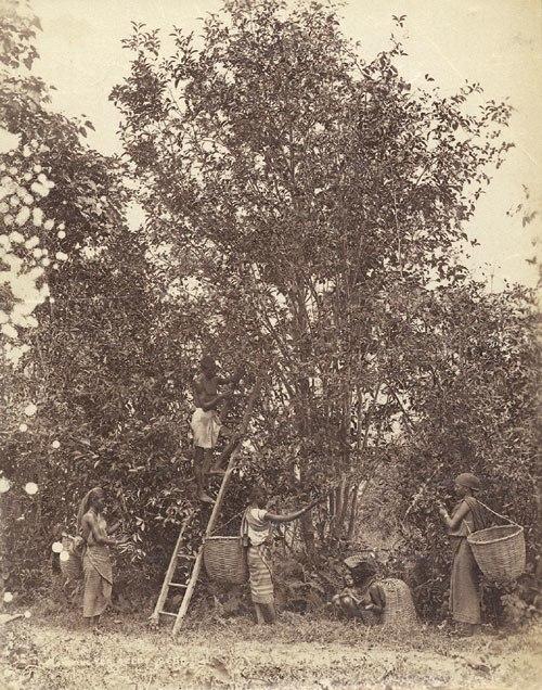 Coffee plantation West Indies