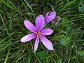 Colchicum autumnale close-up 2020.jpg