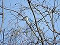 Collared Kingfisher- Halcyon chloris.jpg