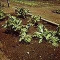 Collectie Nationaal Museum van Wereldculturen TM-20029721 Groentebed met andijvie, met een waterleiding voor het sprinklersysteem, op Plantage Aruba Bonaire Boy Lawson (Fotograaf).jpg