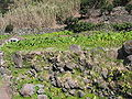 Colocasia esculenta (Anbau).jpg