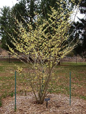 Witch-hazel - Image: Colonial Park Arboretum and Gardens Hamamelis
