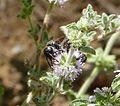 Colpa quinquecincta. Scoliidae - Flickr - gailhampshire (1).jpg