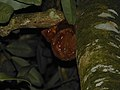 Colugo (Cynocephalus variegatus) at night (8130932151).jpg