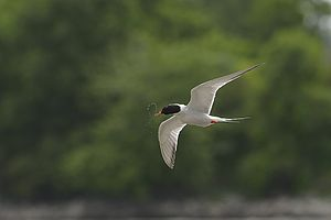 Common tern - Twisted head