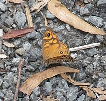 Brown Butterfly (Heteronympha merope)