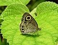 Common Four-ring Ypthima huebneri by Dr. Raju Kasambe DSCN7802 (12).jpg