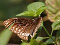 Common Indian Crow (Euploea core) at Narendrapur W IMG 4274.jpg