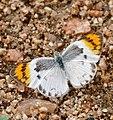 Common Orange Tip (Colotis evenina) female (32718355393).jpg
