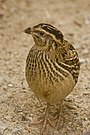 Common Quail - Female.jpg