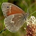 Common Ringlet (Coenonympha tullia) 02.jpg