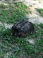 Common Snapping Turtle NC4.jpg