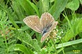 Common blue f. (NH) (10976011724).jpg