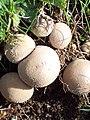 Common puffball (Lycoperdon perlatum), Faulston Down - geograph.org.uk - 1492475.jpg