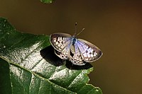 Common zebra blue butterflies(Leptotes pirithous pirithous) 03.jpg
