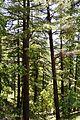 Conifers - Green Valley 2014-05-08 1622.JPG