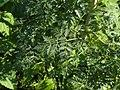 Conium maculatum leaf (12).jpg